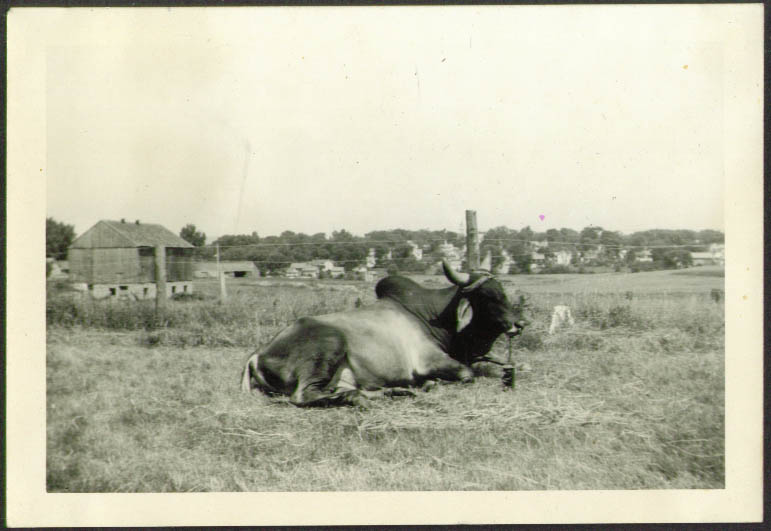 Image for Brahma Bull Russell Bros Circus photo Rutland VT 1941
