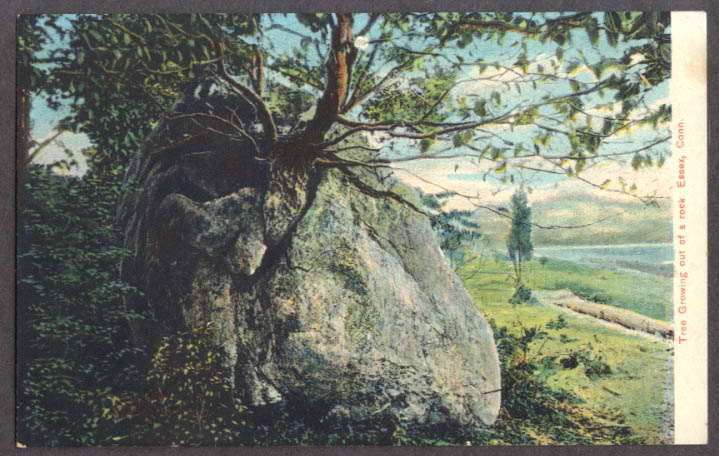 Image for Tree growing out of rock at Essex CT postcard 1910s
